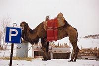 Camel's parking lot (Cappadocia, Turkey).