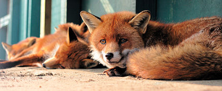 Captive red foxes.JPG