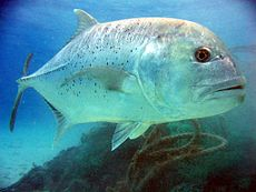 Carango (giant trevally)