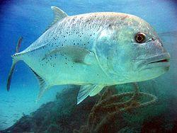 Carangue à grosse tête (Caranx ignobilis)