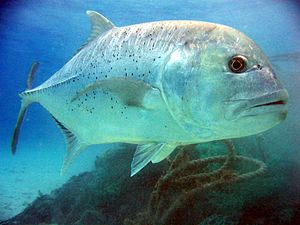 Caranx - Giant trevally, C. ignobilis, the largest fish in the genus