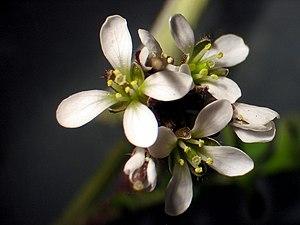 Cardamine hirsuta - Cardamine hirsuta flowers