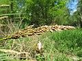 Carex paniculata inflorescens (05).jpg