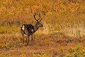 Caribú (Rangifer tarandus), Parque nacional y reserva Denali, Alaska, Estados Unidos, 2017-08-30, DD 86.jpg