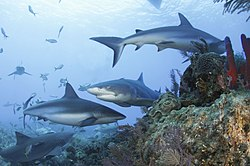 Caribbean reef sharks and a lemon shark .jpg
