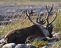 Caribou (Rangifer tarandus) - Port au Choix, Newfoundland 2019-08-19 (18).jpg