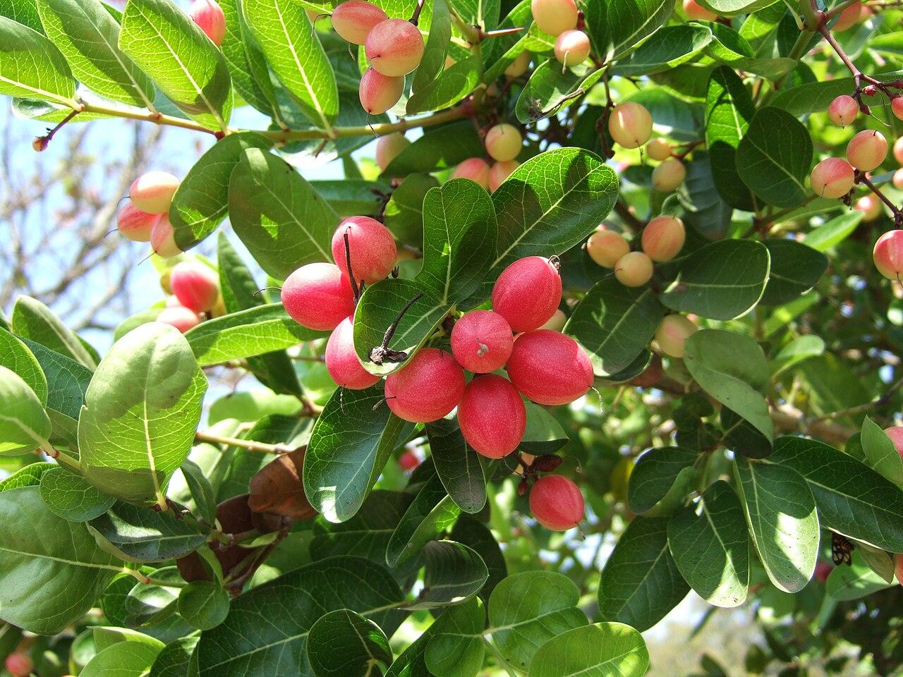 சங்க இலக்கியத்தில்  தாவரங்கள். 1280px-Carissa_carandas_fruits