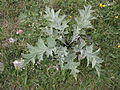 Carlina acanthifolia 001.JPG
