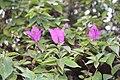 Caryophyllales - Bougainvillea glabra - 5.jpg