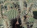 Caryophyllales - Opuntia humifusa 1.jpg