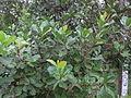 Cashew Nut Tree - കശുമാവ് 03.JPG