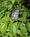 Castalius rosimon - Common Pierrot on the hostplant Ziziphus oenoplia - Jackal Jujube 32.JPG
