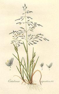<i>Catabrosa</i> genus of plants
