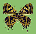 Catapaecilma nakamotoi H. Hayashi, female underside.JPG