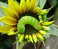 Caterpillar of Angle Shades Moth - Flickr - gailhampshire.jpg
