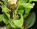 Caterpillar of box tree moth feeding on box tree leaf, Germany 2019 ( DSC2013-1).jpg