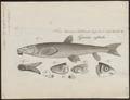 Catostomus rostratus - 1824 - Print - Iconographia Zoologica - Special Collections University of Amsterdam - UBA01 IZ15000001.tif