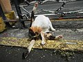 Cats in t1302Cats in the Philippines 08.jpg