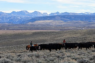Droving - Cattle drive near Pinedale, Wyoming