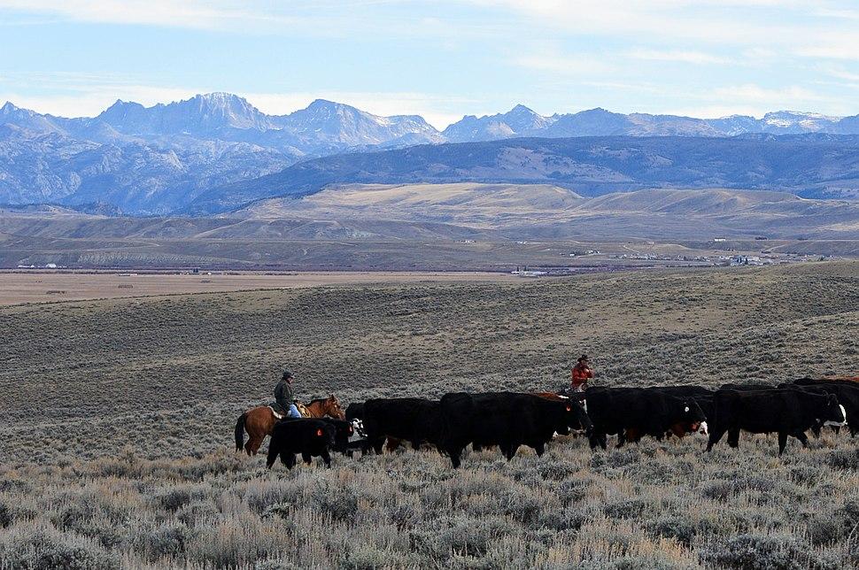 Cattle Drive near Pinedale, WY (14963962303)