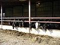 Cattle feeding at Mahollam farm - geograph.org.uk - 376775.jpg