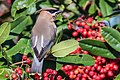 Cedar Waxwing (Explored 11-30-16 -429) (31290042216).jpg