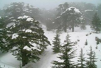 Erhaltener Zedernwald im Libanongebirge im Winter