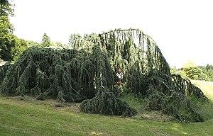 Weeping tree - Weeping Atlas Cedar