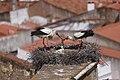 Cegonha Branca ( Ciconia ciconia ) 9 (48308978046).jpg