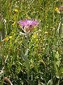 Centaurea uniflora 002.jpg
