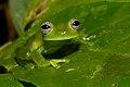 Centrolene ilex leaf.jpg