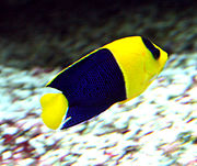 Centropyge bicolor 1