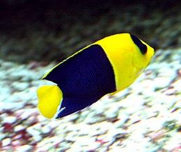 Centropyge bicolor 1.jpg