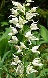 Cephalanthera longifolia 290508