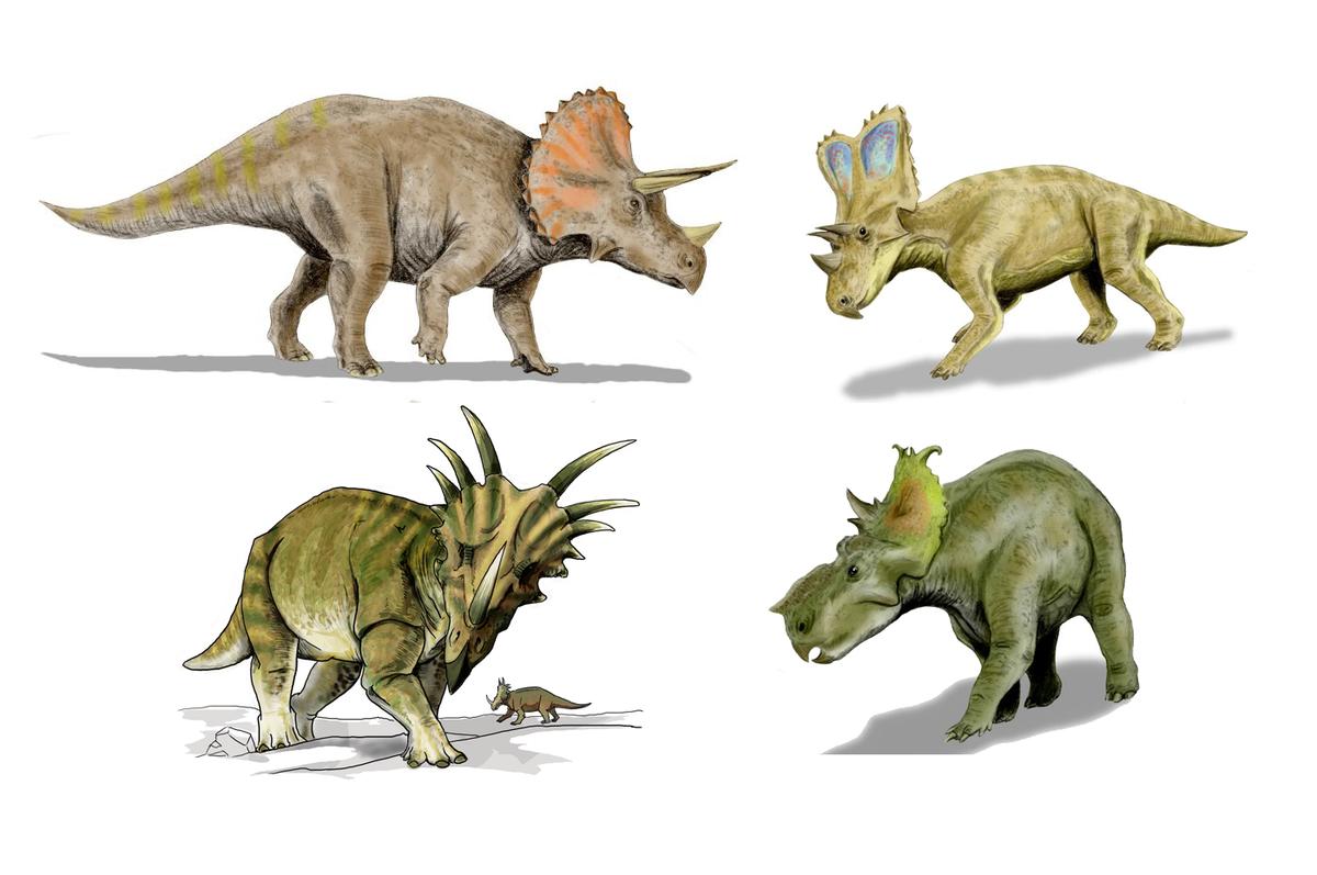 Ceratopsidae Wikipedia La Enciclopedia Libre Y es que, al hablar de ellos, a todos se nos viene a la cabeza esa escena en la que un imponente. ceratopsidae wikipedia la