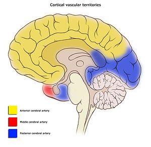 Cerebral circulation - Image: Cerebral vascular territories midline