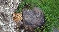 Cerioporus squamosus In Yerevan 03.jpg