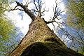 Chêne à 8 bras arbre historique.jpg