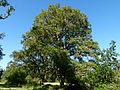 Chêne dans le parc du Château du Moulin.JPG