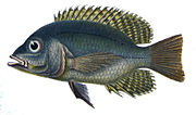 Chaetobranchus flavescens