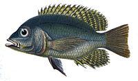 Chaetobranchus flavescens.jpg