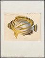 Chaetodon ornatissimus - 1700-1880 - Print - Iconographia Zoologica - Special Collections University of Amsterdam - UBA01 IZ13100145.tif