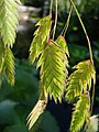 Chasmanthium latifolium Obiedka szerokolistna 2011-09-11 04.jpg