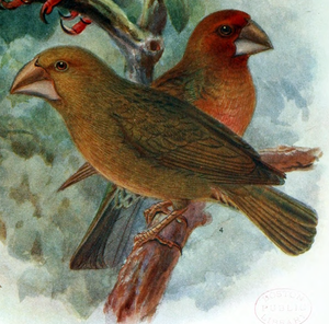 Bonin grosbeak - Restoration by Keulemans