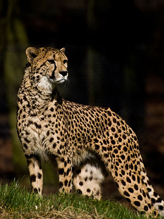 Sudan cheetah - A Sudan cheetah at ZSL Whipsnade Zoo, Bedfordshire