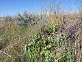 Chenopodium berlandieri (7495939106).jpg