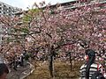 """Cherry-Blossom-Viewing through the """"Tunnel"""" at Japan Mint in 201504 011.JPG"""
