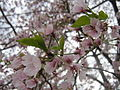 Cherry Blossom (3424756389).jpg