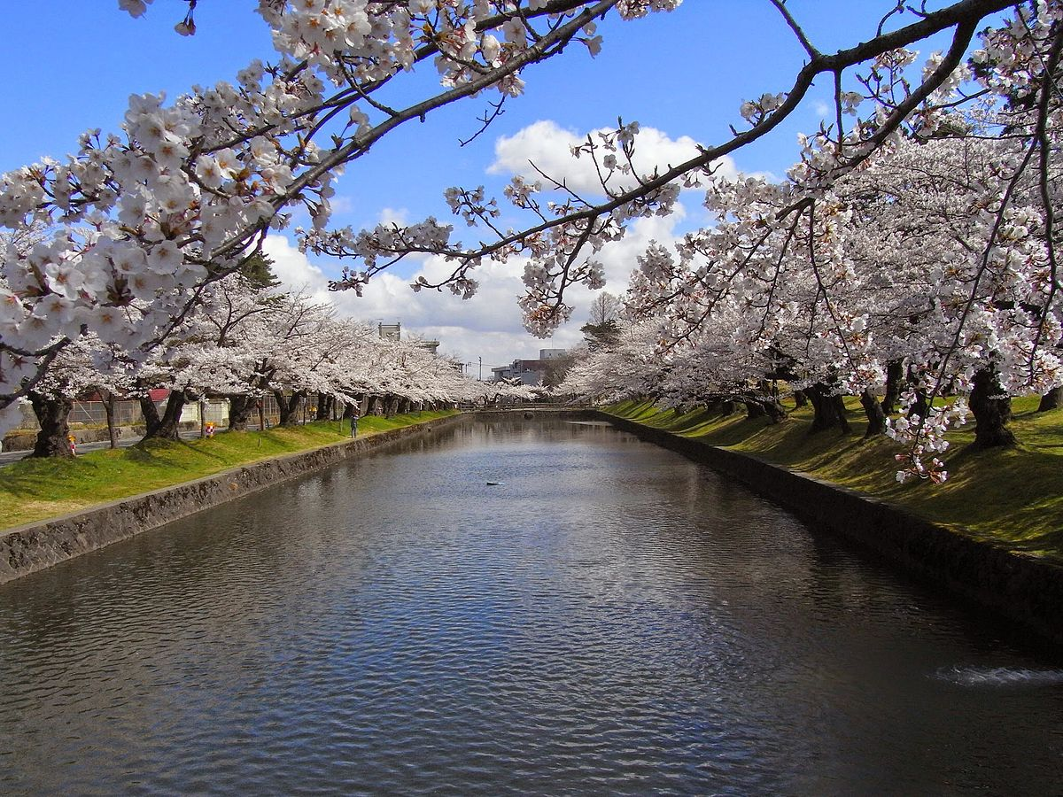 Cherry blossoms in Tsuruoka Park.jpg