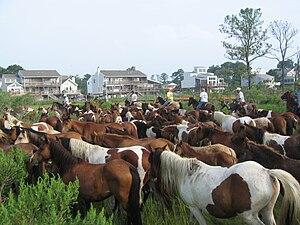 Chincoteague Pony Swim July 30, 2008